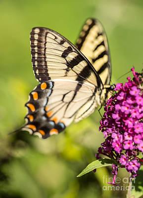 Eastern Tiger Swallowtail Art Print by Iris Richardson