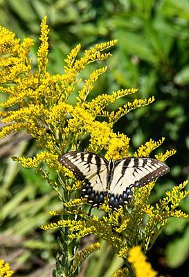 Photograph - Eastern Tiger Swallowtail by John Black
