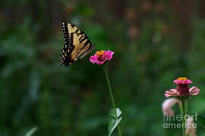 Priska Wettstein Pink Hues - Eastern Tiger Swallowtail by Kitrina Arbuckle
