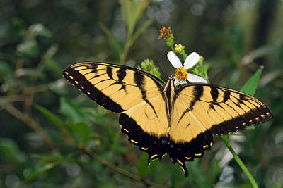Photograph - Eastern Tiger Swallowtail by Larah McElroy
