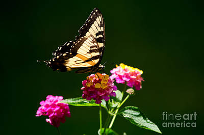 Photograph - Eastern Tiger Swallowtail Male by Paul Mashburn