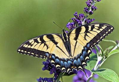 Flower Photograph - Eastern Tiger Swallowtail by Marcia Colelli