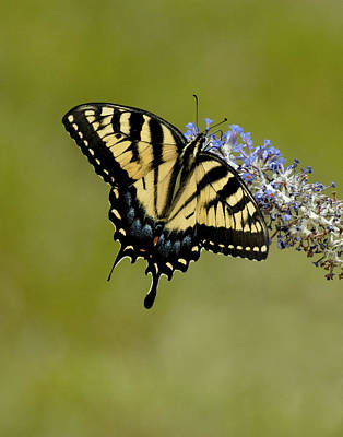 Eastern Tiger Swallowtail On Butterfly Bush Art Print by Lara Ellis