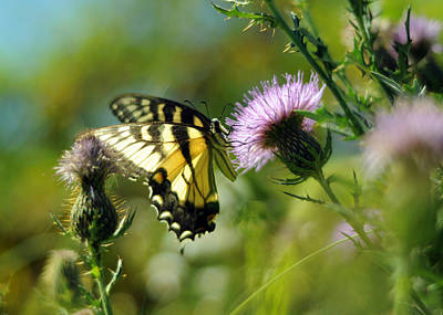 Eastern Tiger Swallowtail On Thistle Print by Rebecca Sherman