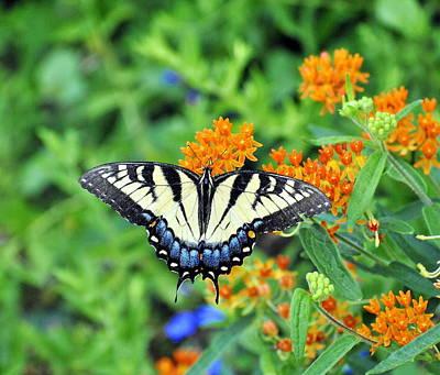 Photograph - Eastern Tiger Swallowtail by Pamela Parton