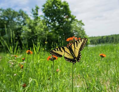 Blue Swallowtail Photograph - Eastern Tiger Swallowtail  Papilio by Julie DeRoche