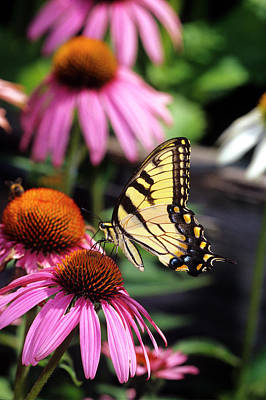 Tiger Swallowtail Photograph - Eastern Tiger Swallowtail (papilio by Richard and Susan Day