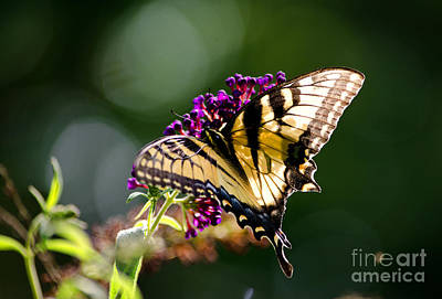 Photograph - Eastern Tiger Swallowtail by Paul Mashburn