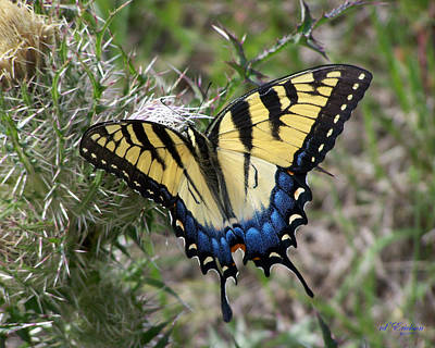 Photograph - Eastern Tiger Swallowtail by rd Erickson
