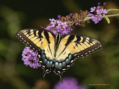 Photograph - Eastern Tiger Swallowtail by Susi Stroud