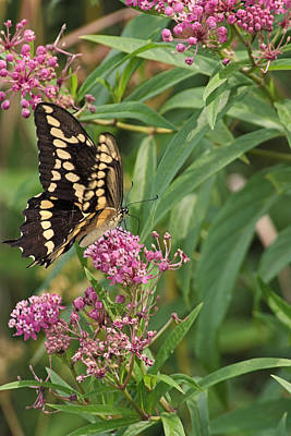 Photograph - Eastern Tiger Swallowtail by Theo O Connor