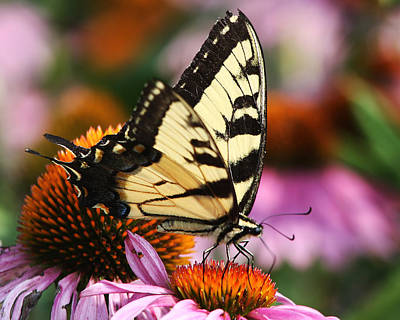 Photograph - Eastern Tiger Swallowtail by Theo OConnor