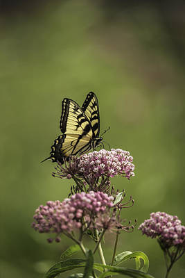 Eastern Tiger Swallowtail Print by Thomas Young