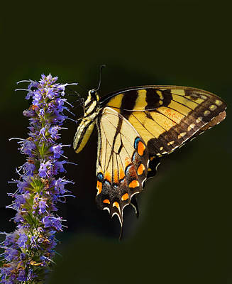 Photograph - Eastern Tiger Swallowtail by William Jobes