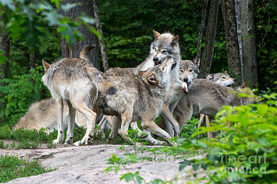 Animal Paintings David Stribbling Royalty Free Images - Eastern Timber Wolves Sparring - 2 Royalty-Free Image by Robert McAlpine