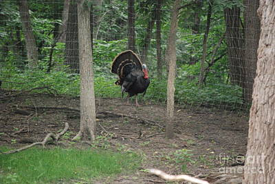 Photograph - Eastern Tom Turkey by Mark McReynolds