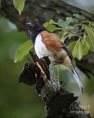 Art Print featuring the photograph Eastern Towhee by Anita Oakley