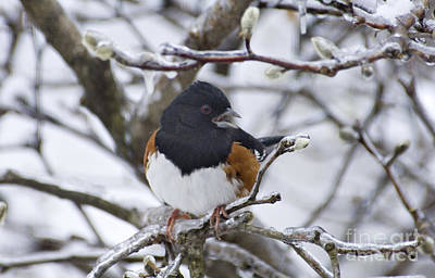 Photograph - Eastern Towhee - D008687 by Daniel Dempster