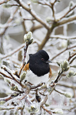 Photograph - Eastern Towhee - D008810 by Daniel Dempster
