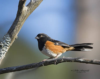 Photograph - Eastern Towhee by Mike Fitzgerald