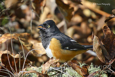Photograph - Eastern Towhee Serenade by Barbara Bowen