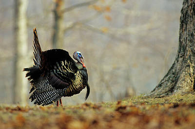Eastern Wild Turkey Photograph - Eastern Wild Turkey (meleagris by Richard and Susan Day