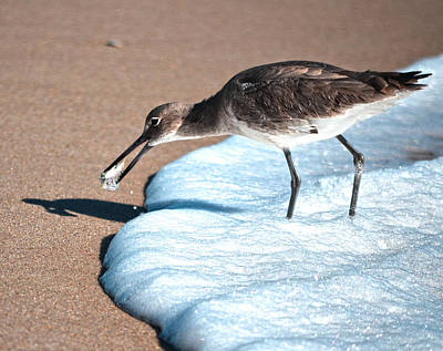 Photograph - Eastern Willet Shorebird by Sandi OReilly