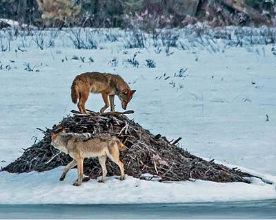 Eastern Wolves Art Print by Steve Dunsford