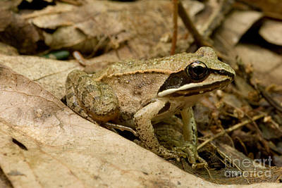 Photograph - Eastern Wood Frog by Paul Whitten