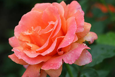 Photograph - Easy Does It Floribunda Rose 2 by Allen Beatty
