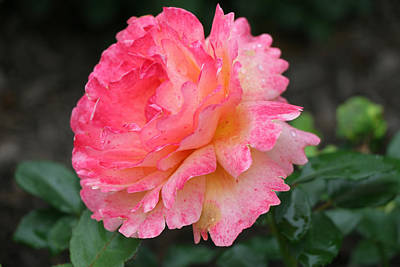 Photograph - Easy Does It Floribunda Rose by Allen Beatty