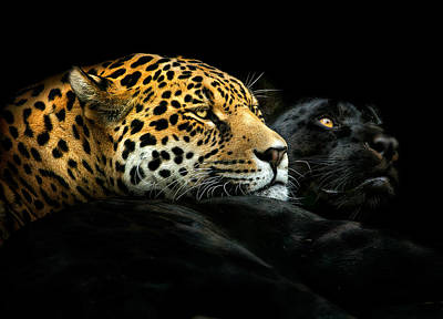 Panther Photograph - Ebony And Ivory by Pedro Jarque