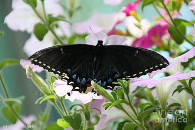 Photograph - Ebony Wings by Susan Herber