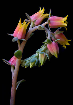 Photograph - Echeveria by Kim Aston