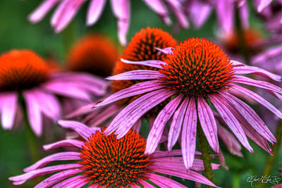 Iphone Case Photograph - Echinacea   by Michael Frank Jr