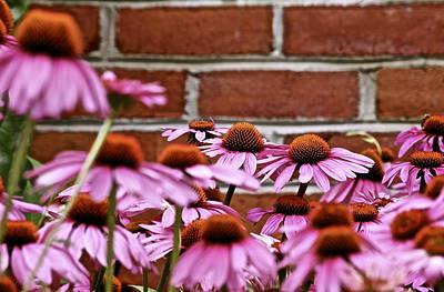 Echinacea And Brick Wall Art Print