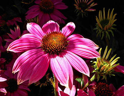 Photograph - Echinacea Blooms by Suzy Piatt