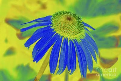 Photograph - Echinacea Blue by Diane Macdonald