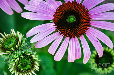 Photograph - Echinacea by Cheryl McClure