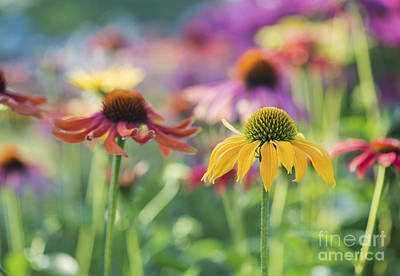 Asteraceae Photograph - Echinacea Cheyenne Spirit by Tim Gainey