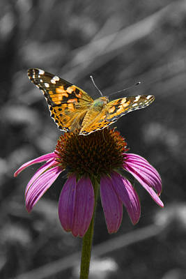 Outerspace Patenets Rights Managed Images - Echinacea Cone Flower and a Nymphalidae Butterfly Royalty-Free Image by Randall Nyhof