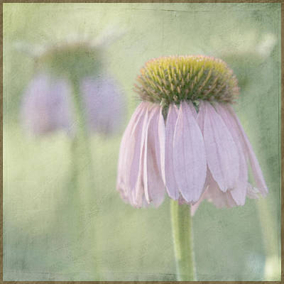 Echinacea Coneflower Art Print by Juli Scalzi