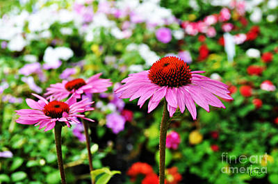 Photograph - Echinacea Flower by Mindy Bench