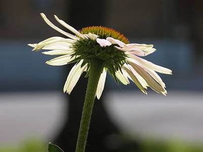 Valerie Paterson Wall Art - Photograph - Echinacea II by Valerie Paterson