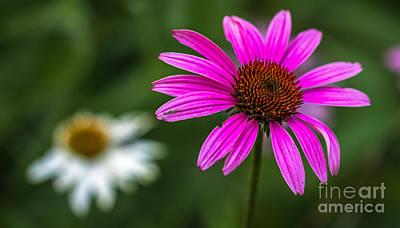 Echinacea Purpurea Original