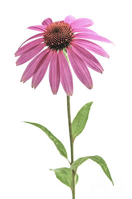 Coneflower Photograph - Echinacea Purpurea Flower by Elena Elisseeva