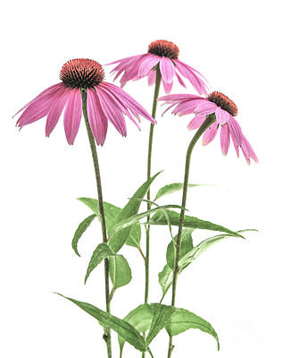 Flower Photograph - Echinacea Purpurea Flowers by Elena Elisseeva