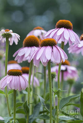 Photograph - Echinacea Purpurea by Juli Scalzi