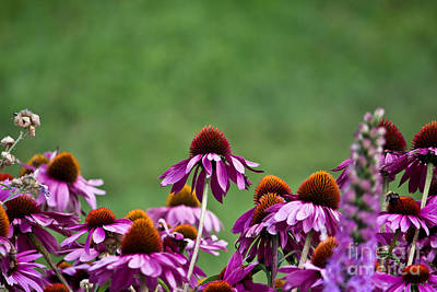 Photograph - Echinacea Purpurea by Ms Judi
