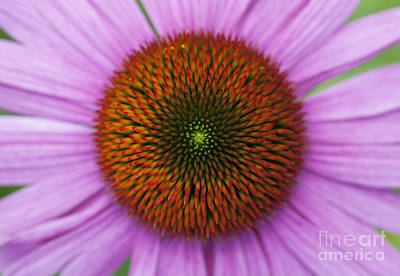 Echinacea Purpurea Rubinglow Flowers Art Print